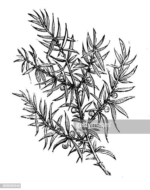 antique illustration of plants: juniper - juniper tree stock illustrations