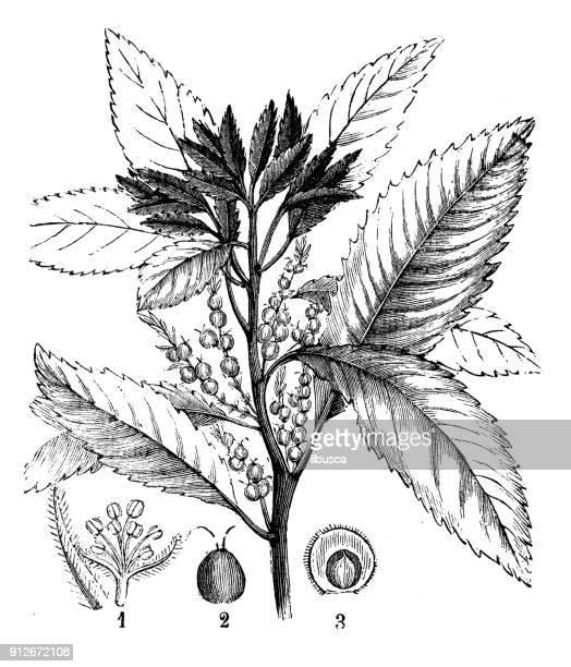 antique illustration of plants: morella pubescens - comunidad autonoma de valencia stock illustrations