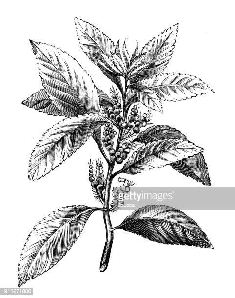 Antique illustration of plants: Myrica cerifera (southern wax myrtle, southern bayberry, candleberry, bayberry tree)