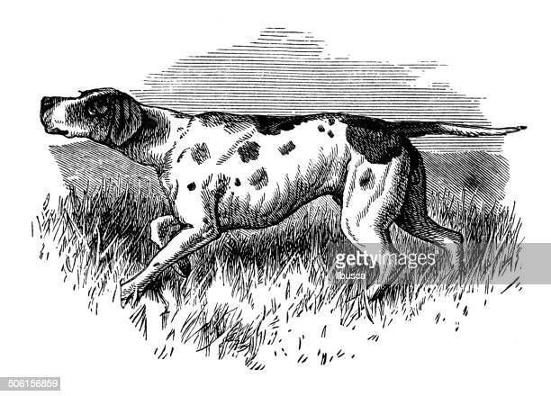 Antique illustration of pointer pointing
