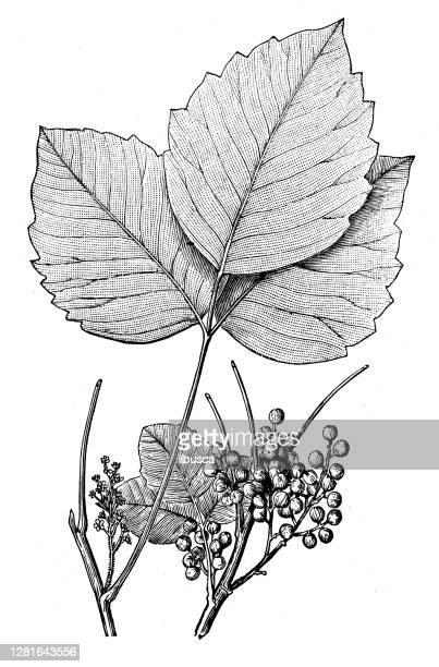 """illustrazioni stock, clip art, cartoni animati e icone di tendenza di antique illustration of poison ivy (rhus radicans) - """"ilbusca"""""""