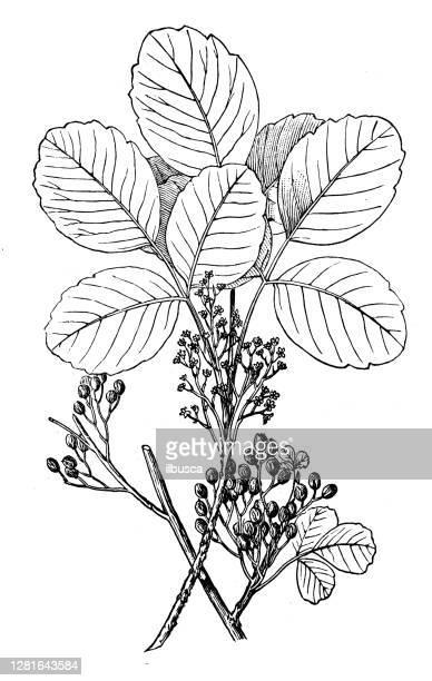 """illustrazioni stock, clip art, cartoni animati e icone di tendenza di antique illustration of poison oak (rhus diversiloba) - """"ilbusca"""""""