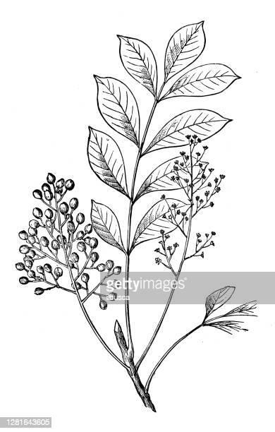 """illustrazioni stock, clip art, cartoni animati e icone di tendenza di antique illustration of poison sumac (rhus vernix) - """"ilbusca"""""""