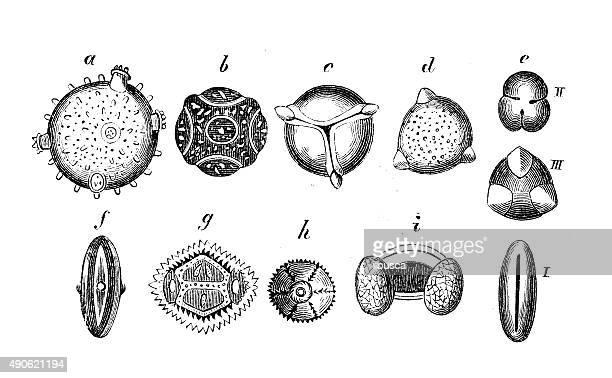 Antiguidade ilustração de pólen
