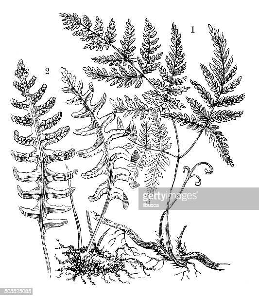 Antique illustration of polypodium vulgare and polypodium dryopteris fern