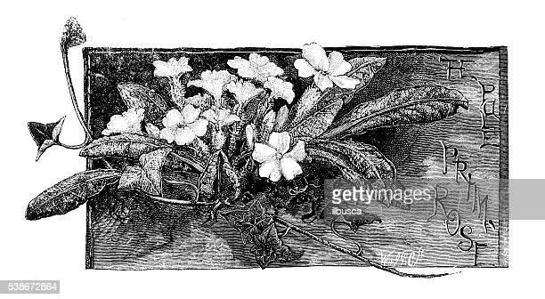 Antique illustration of primroses