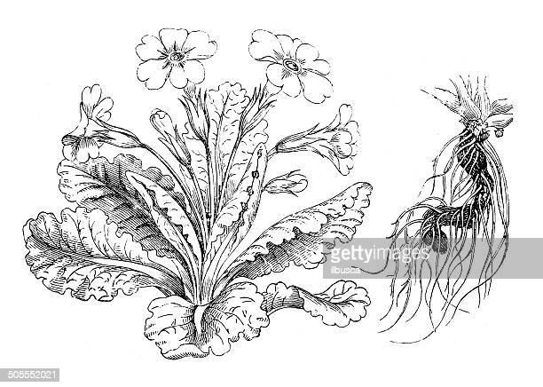 Antique illustration of Primula vulgaris (primrose)