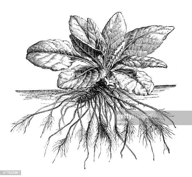 Antique illustration of Primula vulgaris (primrose) roots