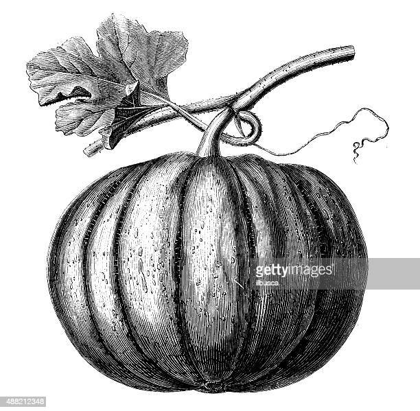 bildbanksillustrationer, clip art samt tecknat material och ikoner med antique illustration of pumpkin - pumpa