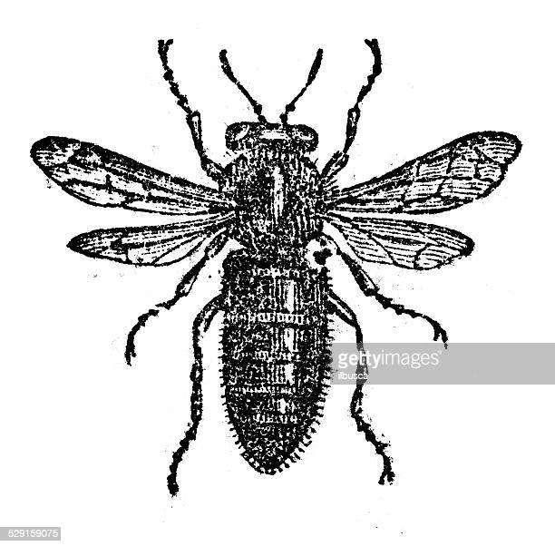 アンティークイラストレーションの女王バチ - queen bee点のイラスト素材/クリップアート素材/マンガ素材/アイコン素材