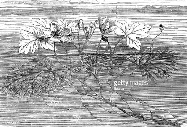 Antique illustration of Ranunculus aquatilis (common water-crowfoot, white water-crowfoot)