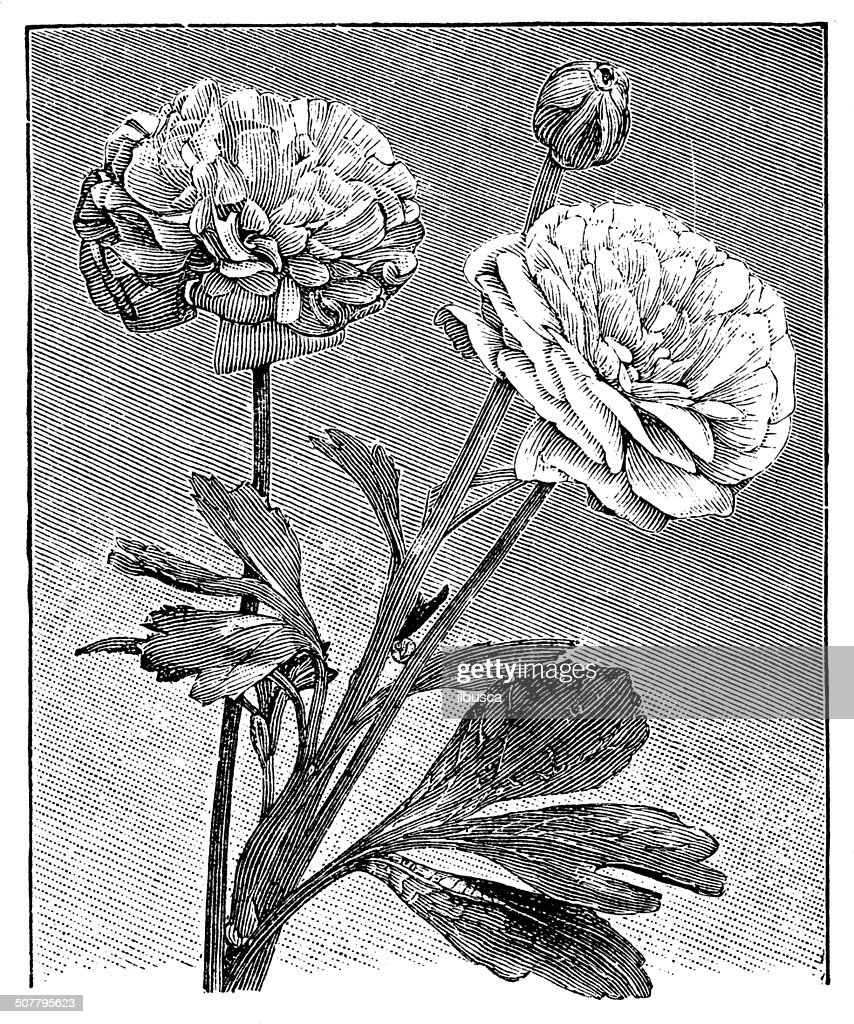 Antique illustration of Ranunculus asiaticus (Persian buttercup) : stock illustration