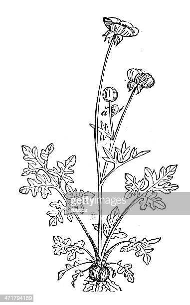 antique illustration of ranunculus bulbosus (st anthony's turnip, bulbous buttercup) - ranunculus stock illustrations, clip art, cartoons, & icons
