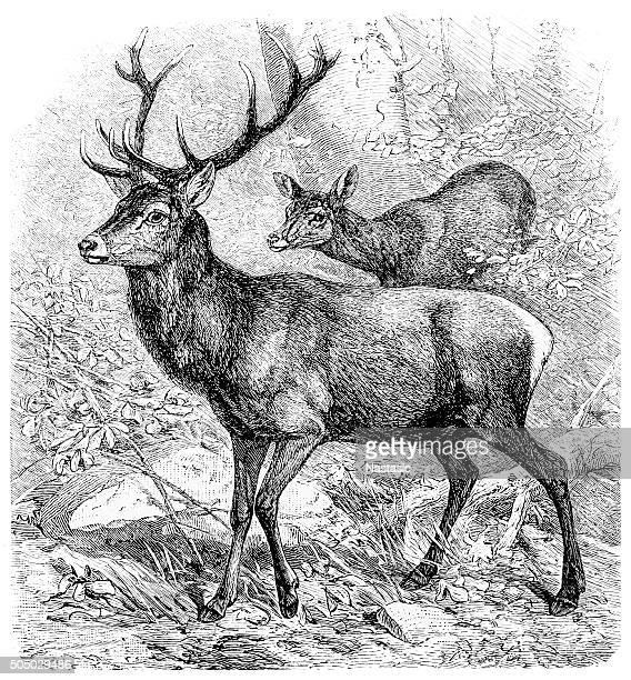 antique illustration of red deer (cervus elaphus) - stag stock illustrations