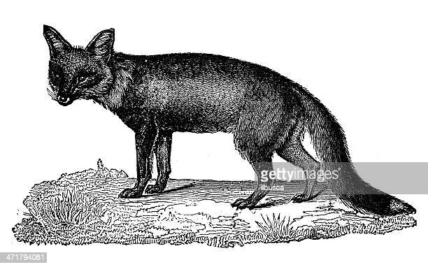 Antique illustration of red fox (Vulpes vulpes)