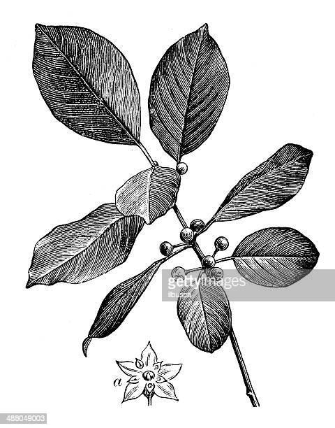 antique illustration of rhamnus frangula, (frangula alnus), the alder buckthorn - arrowwood stock illustrations, clip art, cartoons, & icons