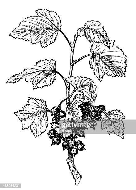 Antique illustration of Ribes, Currant