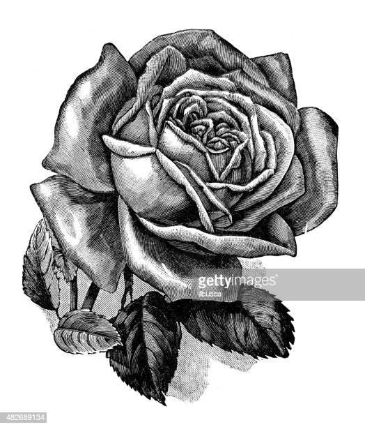 30 Meilleurs Rose Noir Et Blanc Illustrations Cliparts