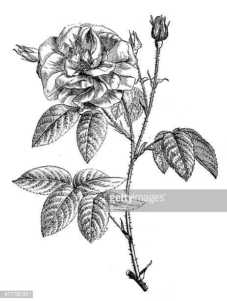 antique illustration of rose - rose flower stock illustrations, clip art, cartoons, & icons