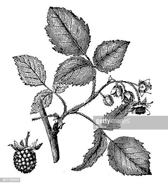 antique illustration of rubus idaeus (raspberry) - raspberry stock illustrations, clip art, cartoons, & icons