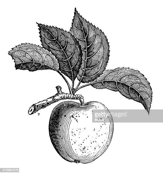 antique illustration of russet apple - single flower stock illustrations