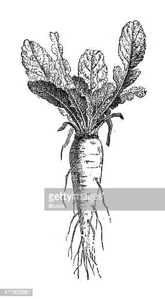 antique illustration of rutabaga, swede or neep (brassica napobrassica) - rutabaga stock illustrations, clip art, cartoons, & icons