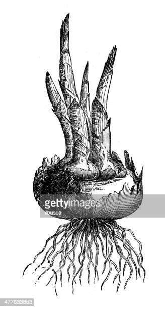 antique illustration of saffron root - plant bulb stock illustrations, clip art, cartoons, & icons