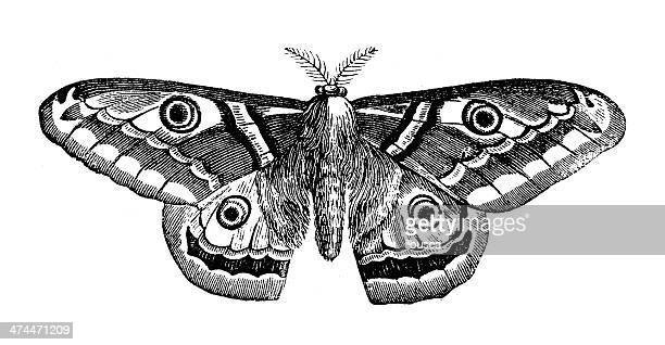 antikes illustration saturnia pyri (giant pfau motte) - schwarzweiß bild stock-grafiken, -clipart, -cartoons und -symbole