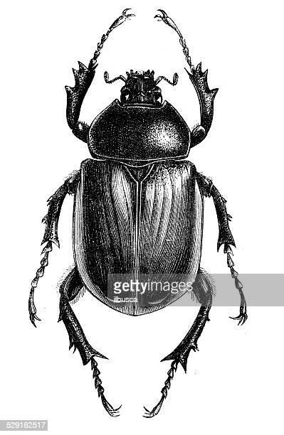 Antique illustration of scarab beetle