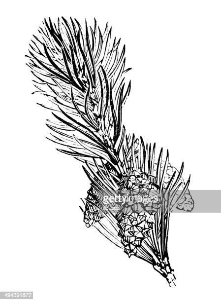 antique illustration of scotch fir (pinus sylvestris) - scotch whiskey stock illustrations, clip art, cartoons, & icons