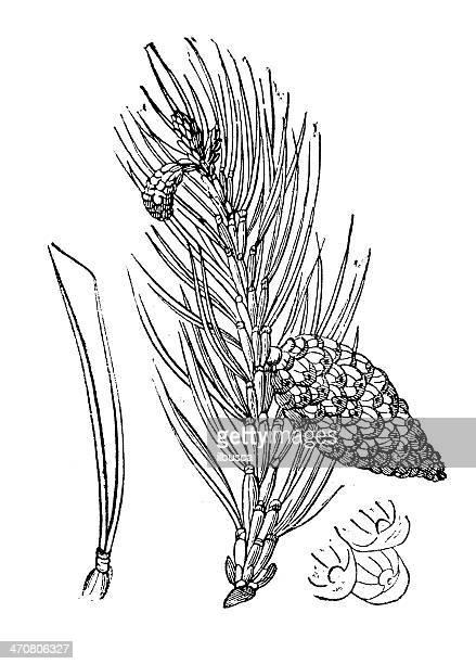Antique illustration of Scots pine (Pinus sylvestris)
