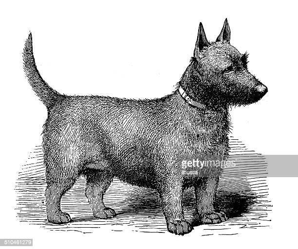 Ancienne illustration de Terrier d'Écosse
