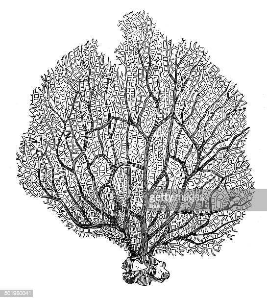 Antique illustration of sea-fan (Rhipidogorgia flabellum)