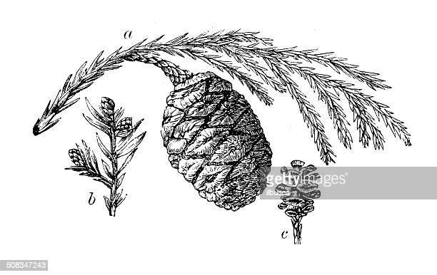 antique illustration of sequoia cones - pine cone stock illustrations, clip art, cartoons, & icons