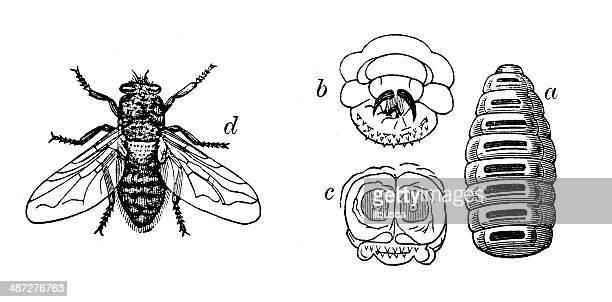 antique illustration of sheep botfly - bot fly stock illustrations