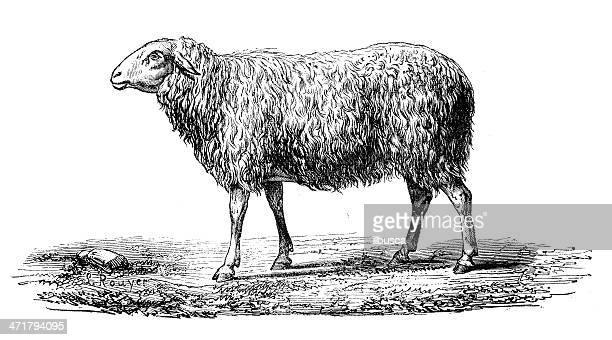 antique illustration of sheep - sheep stock illustrations, clip art, cartoons, & icons
