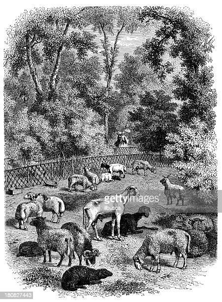 Antique illustration of sheep in natural history museum