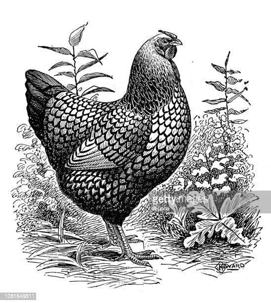 """illustrazioni stock, clip art, cartoni animati e icone di tendenza di antique illustration of silver-laced wyandotte pullet - """"ilbusca"""""""