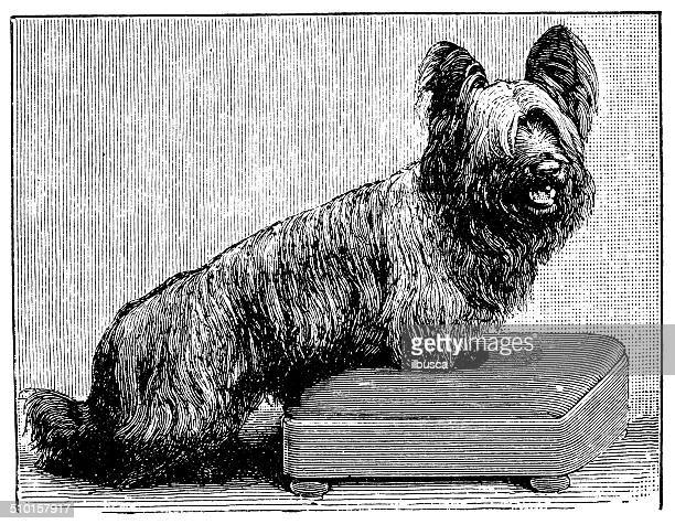 Antique illustration of Skye terrier