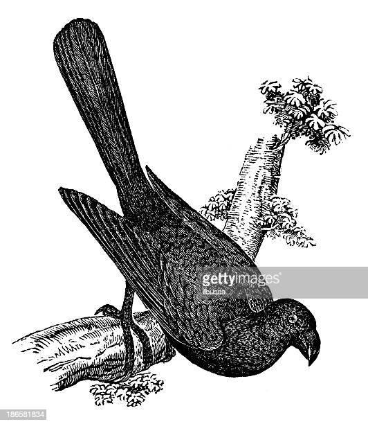 Antiguidade ilustração de Anu-(Crotophaga ani)