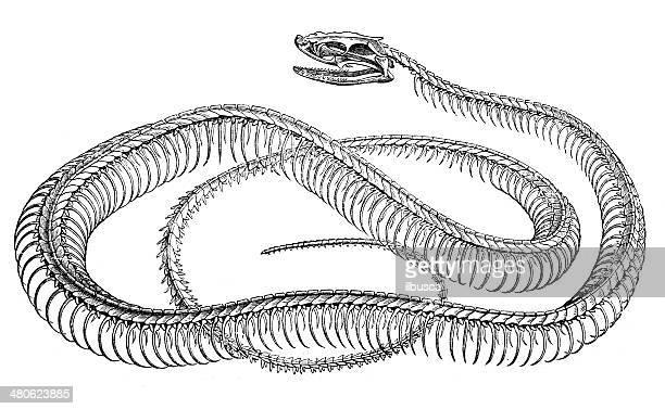 antique illustration of snake skeleton - animal skeleton stock illustrations, clip art, cartoons, & icons