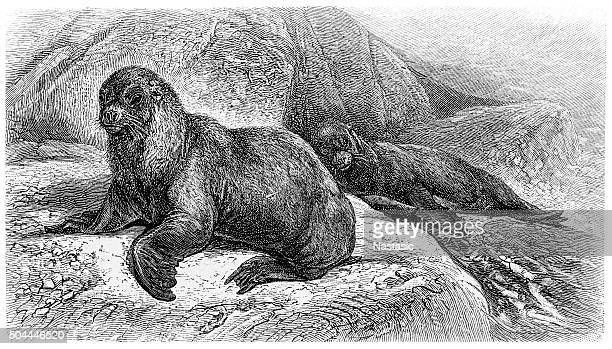 Antique illustration of southern sea lion