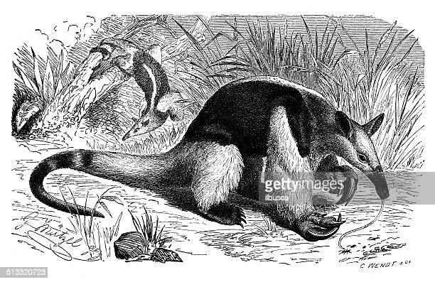 antique illustration of southern tamandua (tamandua tetradactyla) - tamandua anteater stock illustrations