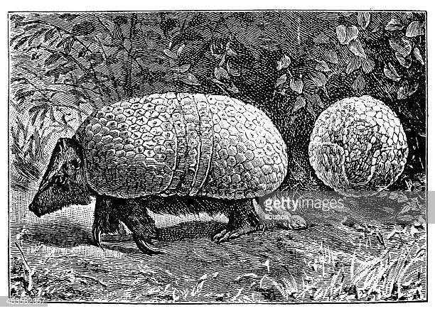 Antique illustration of southern three-banded armadillo (Tolypeutes matacus)