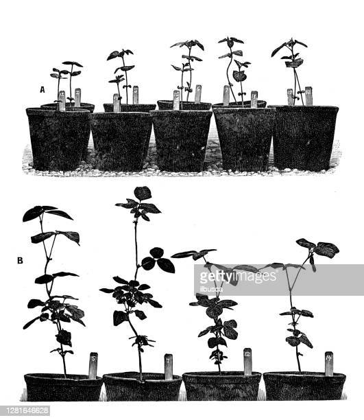 """illustrazioni stock, clip art, cartoni animati e icone di tendenza di antique illustration of soya bean cultivation experiments - """"ilbusca"""""""
