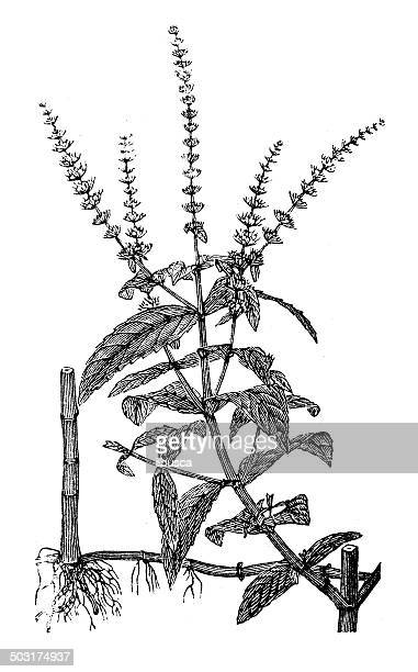 antique illustration of spearmint or spear mint (mentha spicata) - mint leaf culinary stock illustrations, clip art, cartoons, & icons