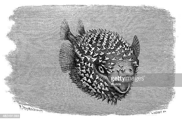 アンティークイラストレーションの斑点 porcupinefish (diodon hystrix ) - ヤマアラシ点のイラスト素材/クリップアート素材/マンガ素材/アイコン素材