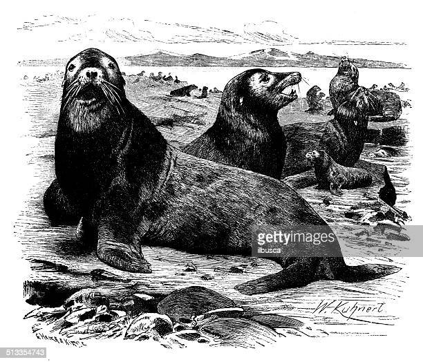 Antique illustration of Steller sea lion (Eumetopias jubatus)