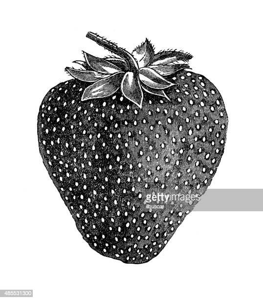 Antique illustration of strawberry