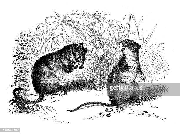 antique illustration of striped field mouse and wood mouse illustration id